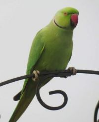 A male Rose Ringed Parakeet was first to arrive