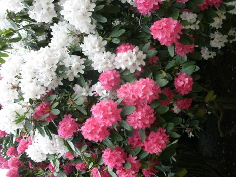 Rhodedendrons