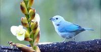 Costa Rican Bluebird