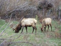 Elk in Rocky Mt. Natinal Park in Spring