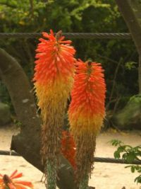another Aussie flower