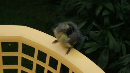 Baby blue tit snoozing