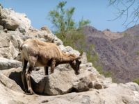 Bighorn sheep, could be a goat...