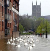 Swans swim through street after floods, UK.