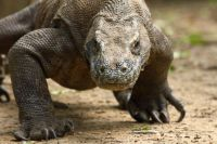 4. A Komodo Dragon lumbers forwards. Notice the massive claws used for gripping prey. Image by Adam Riley