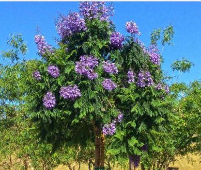 Baby Jacaranda tree