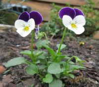 Volunteer Pansies in my garden.....# 3