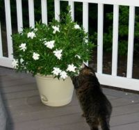 Sooty checking out the Gardenia bush