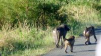 Baboons - Umfolozi Safari Park