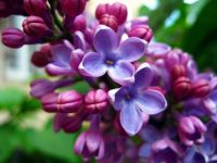 Nature_Flowers_Lilac_027294_