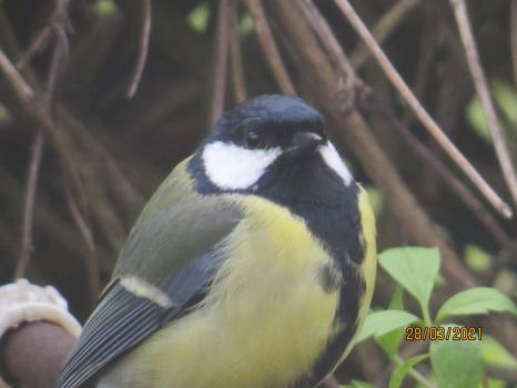 Great Tit showing of it's fine plumage