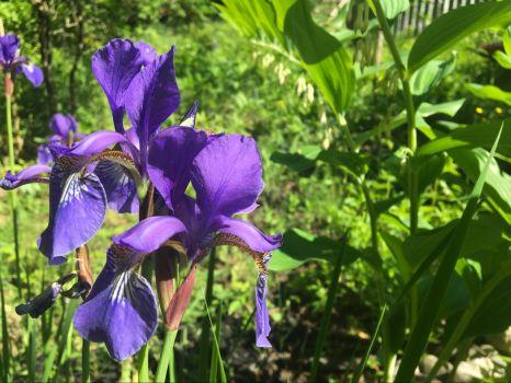 Iris in the Solomon's Seal