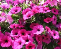 Hot pink petunias.  Easier