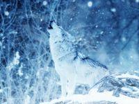 wolf in snow --challenge