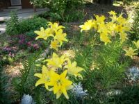 100_0559 oriental lillies