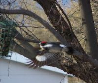 Acorn Woodpecker in flight!