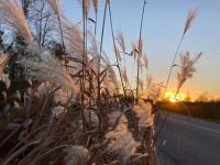 Evening light on ornamental grasses
