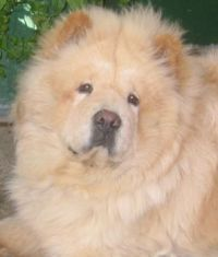 Ivan the ChowChow