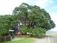 Largest Pohutukawa tree