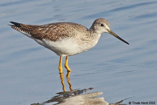 Greater Yellowlegs at Bolsa Chica Wetlands CA