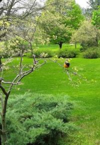 Oriole in a Redbud