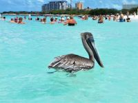 Pelican looking for fish