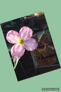 Clematis on my Stoep