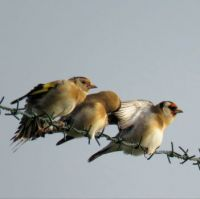 preening family of goldfinches (poetsende puttertjes)