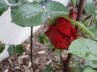 A Oregon rose, LOL!