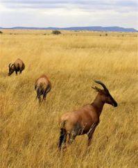 Topi, Serengeti National Park, Tanzania