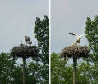 Vondelpark storks update #3: three thriving young ones :-)))
