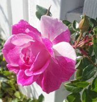 Pink Rose on Fence
