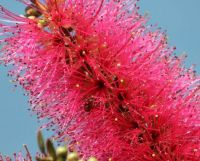 191_6674  bug in the bottlebrush, Callistemon salignus pink form, Willow Bottlebrush, Myrtaceae