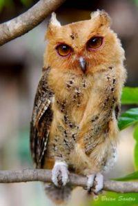 PHILIPPINE SCOPS OWL...