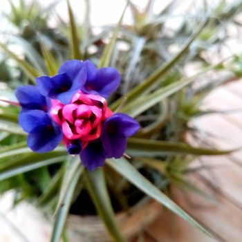 Daughter's Airplant Flowering for First Time in Ten Years.
