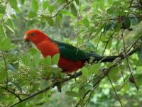 Male King Parrot in cotoneaster tree