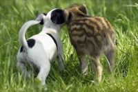 Piglet & Pup at Play (5)