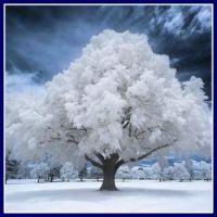 81 White Tree