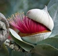 A Eucalyptus Flower Beginning To Open