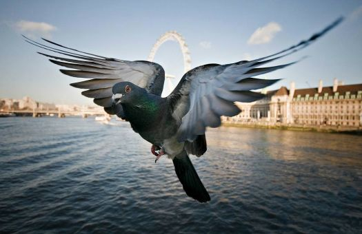 A pigeon flying low over the Thames