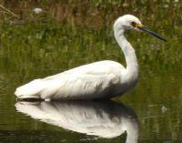Egret wading (waiting?)