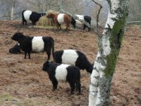 BELTED GALLOWAY BOWVINES