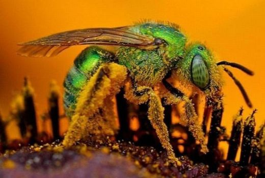 Metallic Green Sweat Bee - Canada to Argentina....