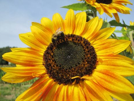 Yellow SunFlower with BumbleBee