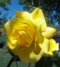 June light disloses....... a yellow Rose in Devon