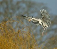 Grey Heron nest building