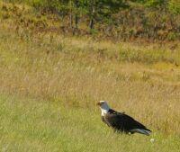 American Bald Eagle - photo take 9/17/17