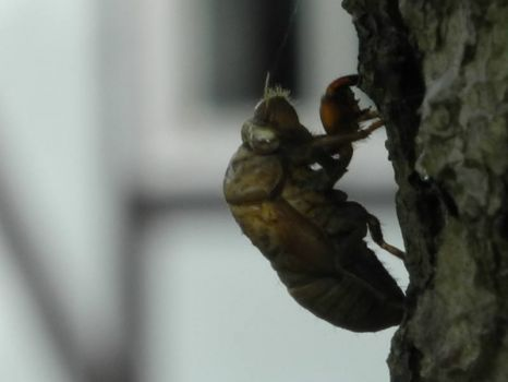 Cicada's are still here 1