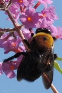 Bumblebee in the Afternoon