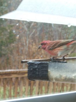 Purple Finch peeking out as the first snowflakes of the year start to fall